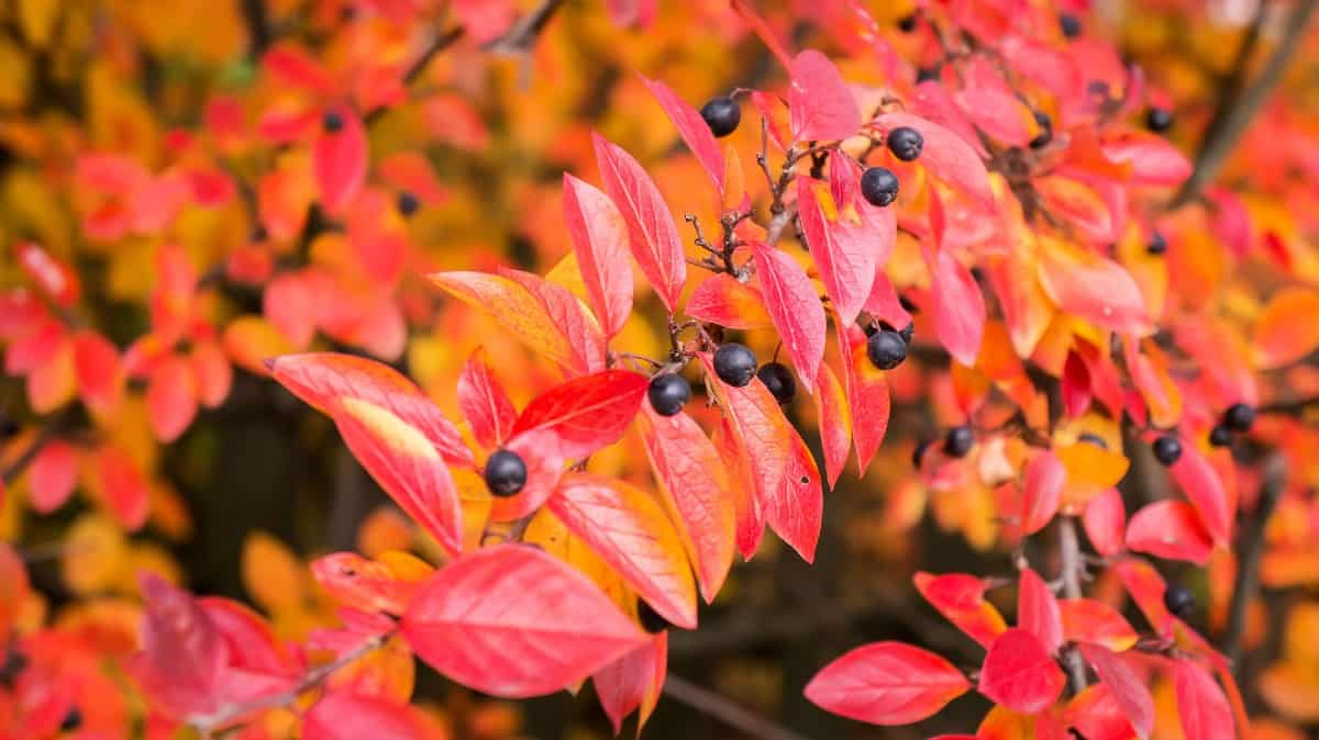 The cotoneaster is very low-maintenance.