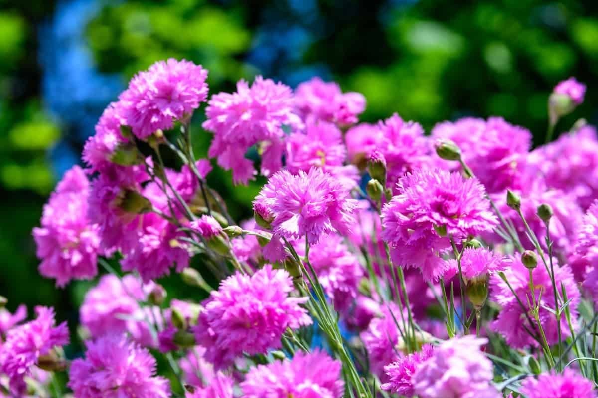 The dianthus is a perennial that has a spicy scent.