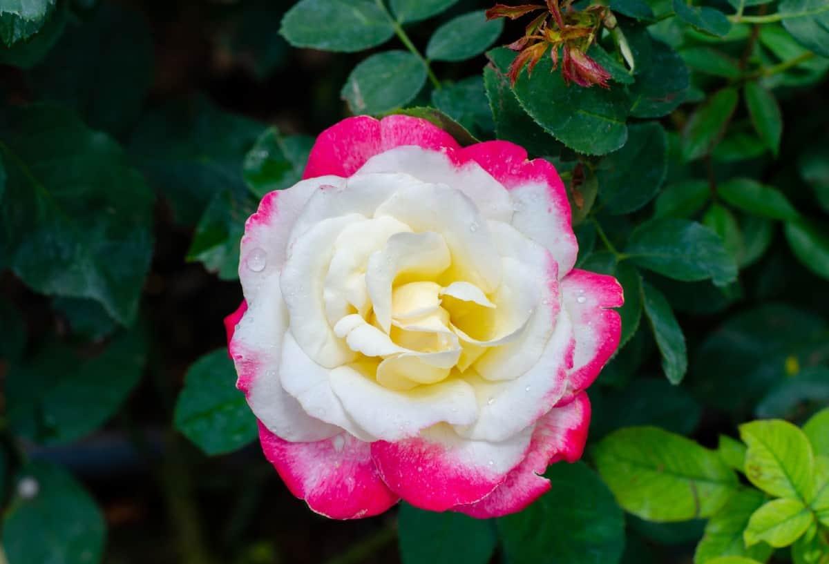 The double delight is a hybrid tea shrub rose.