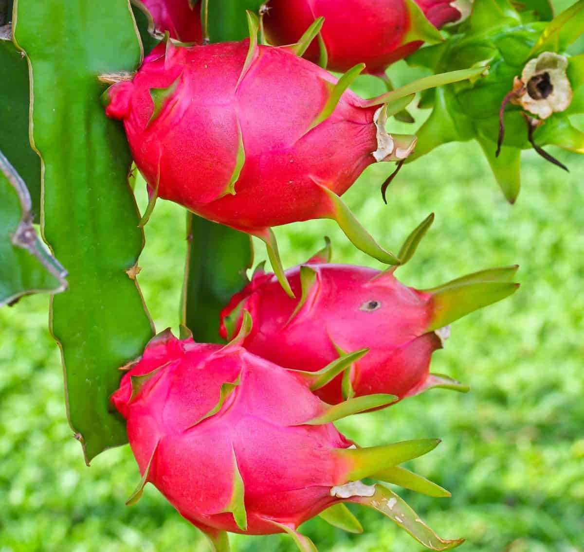 Dragon fruit comes on an unusual ornamental vine.