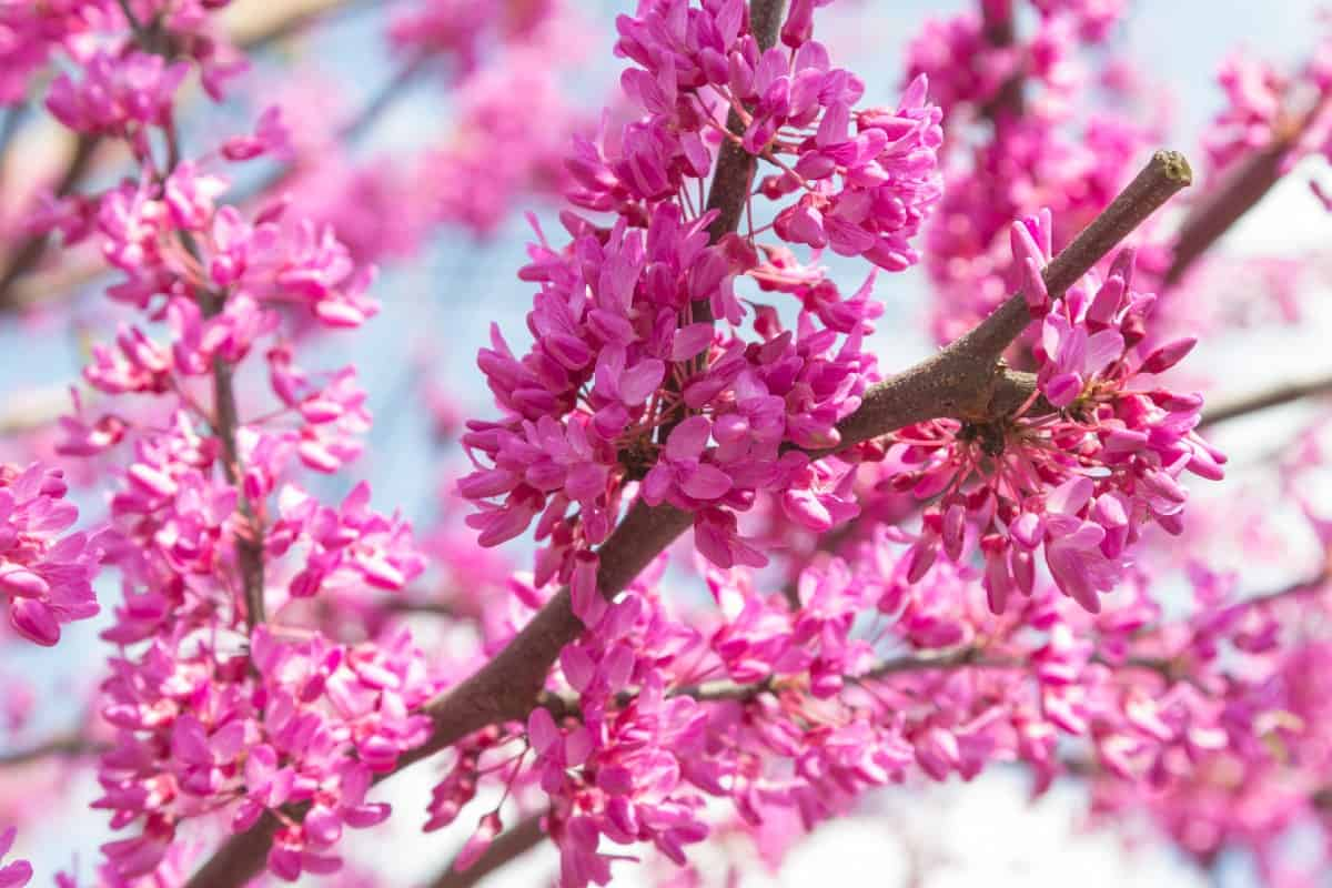 Eastern redbuds are one of the first trees to bloom in spring.