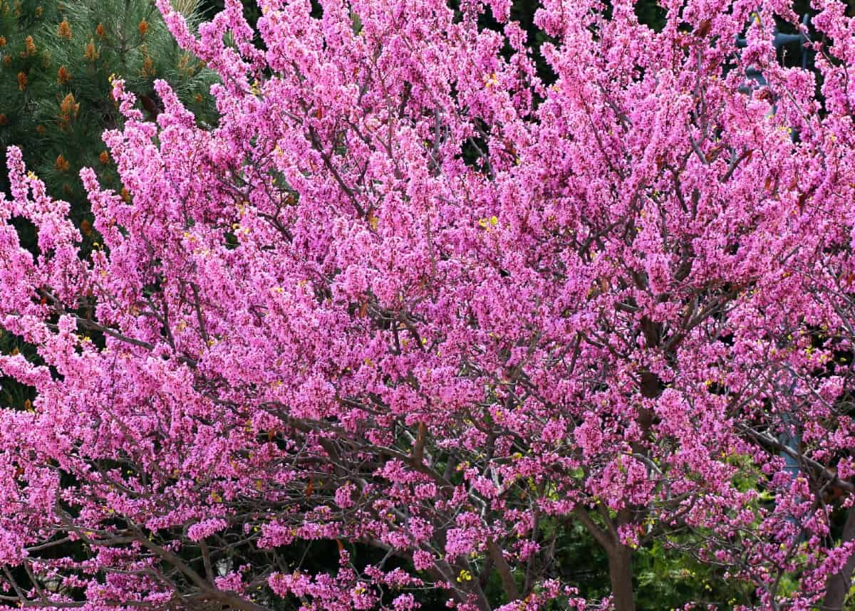 The Eastern redbud makes an attractive ornamental tree.