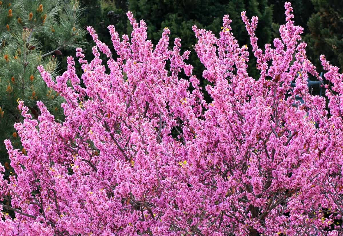 Eastern redbud trees showcase amazing flowers in early spring.