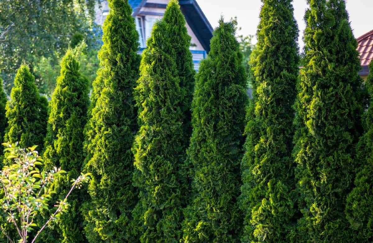 The emerald green arborvitae makes an ideal privacy hedge.