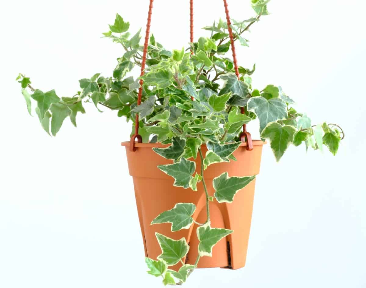 English ivy is perfect for a hanging plant.