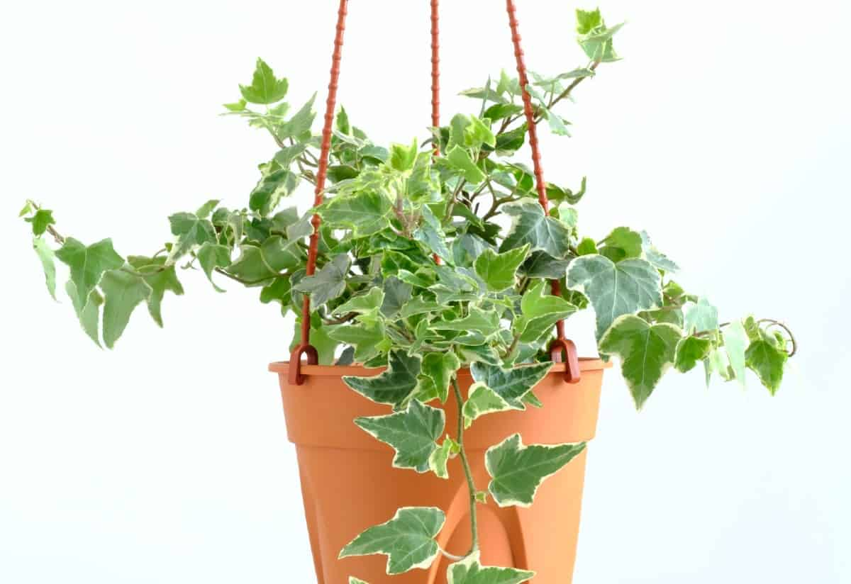 English ivy looks great in a hanging basket.