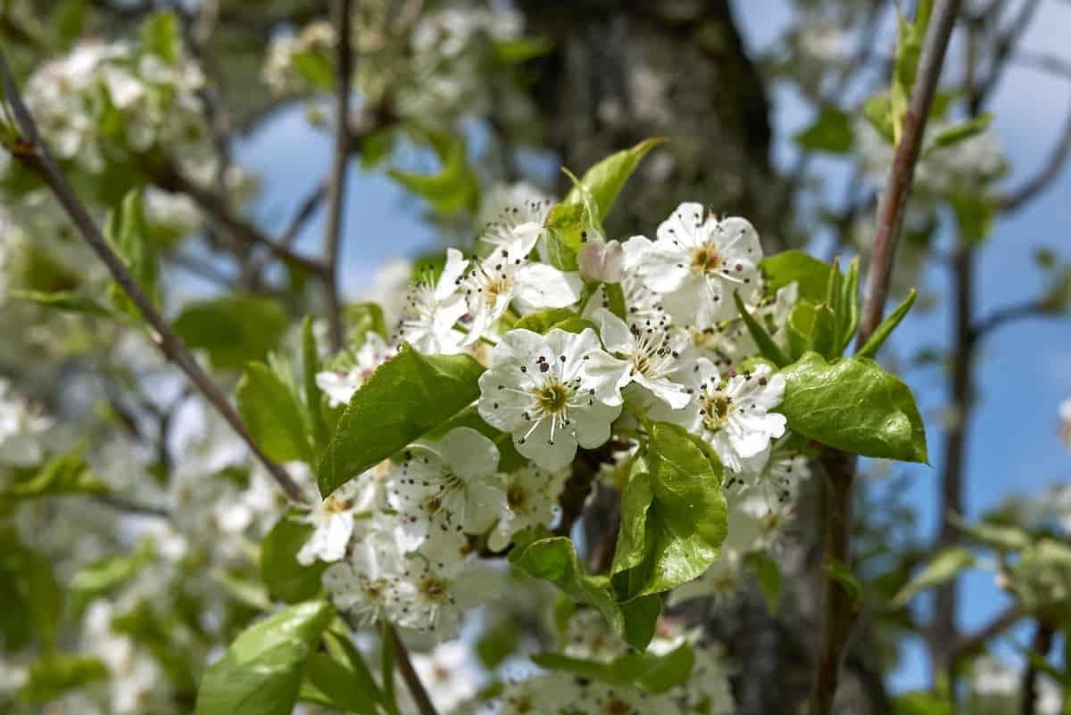 European pear trees produce delicious fruit.