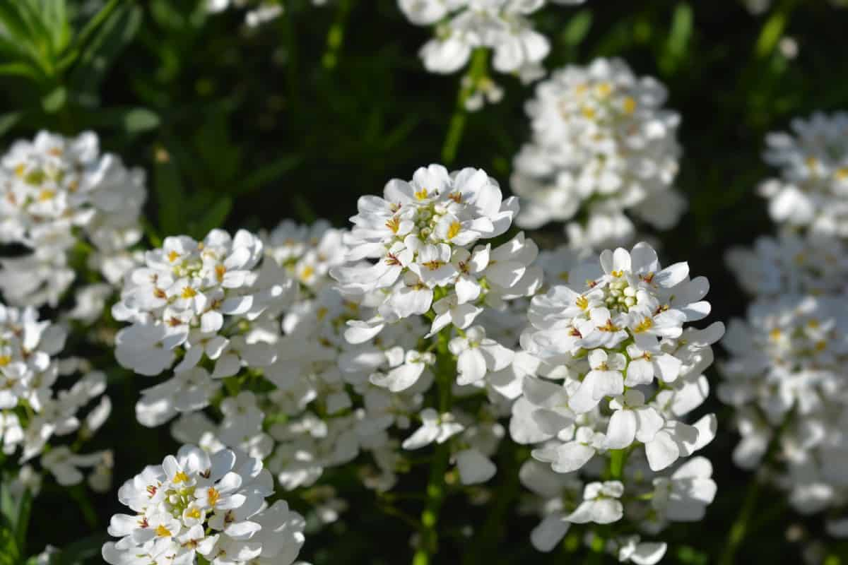 Evergreen candytufts like lots of sun.