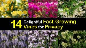 Fast Growing Vines for Privacy titleimg1