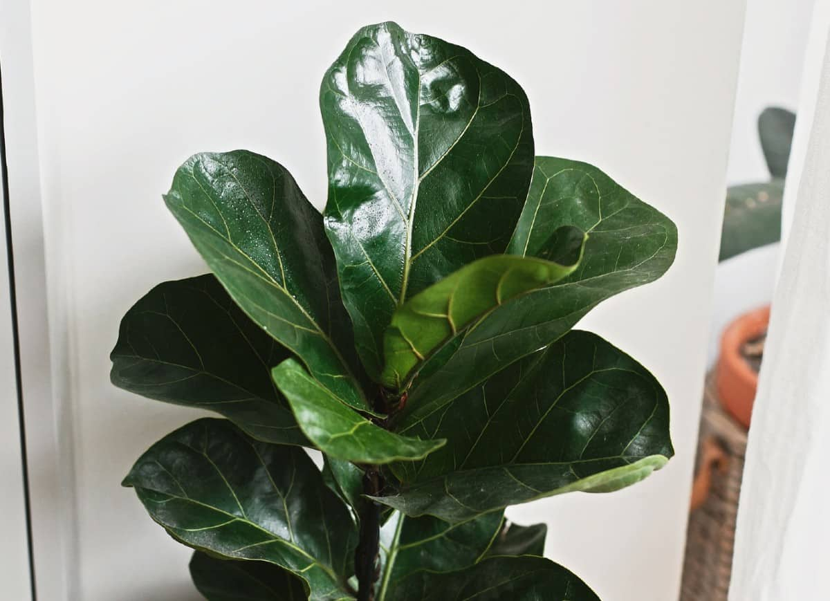 Fiddle-leaf figs are houseplants with large leaves.