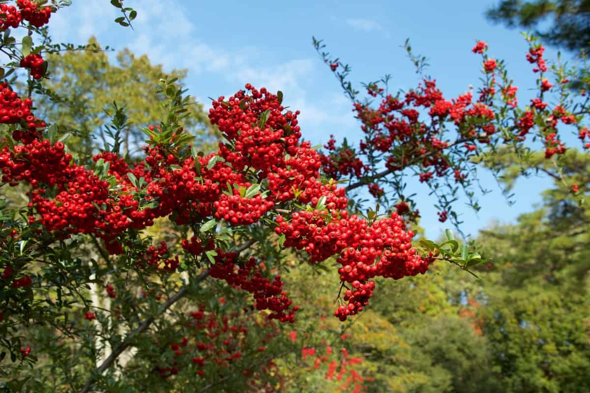 Firethorn is an evergreen ideal for a privacy barrier.