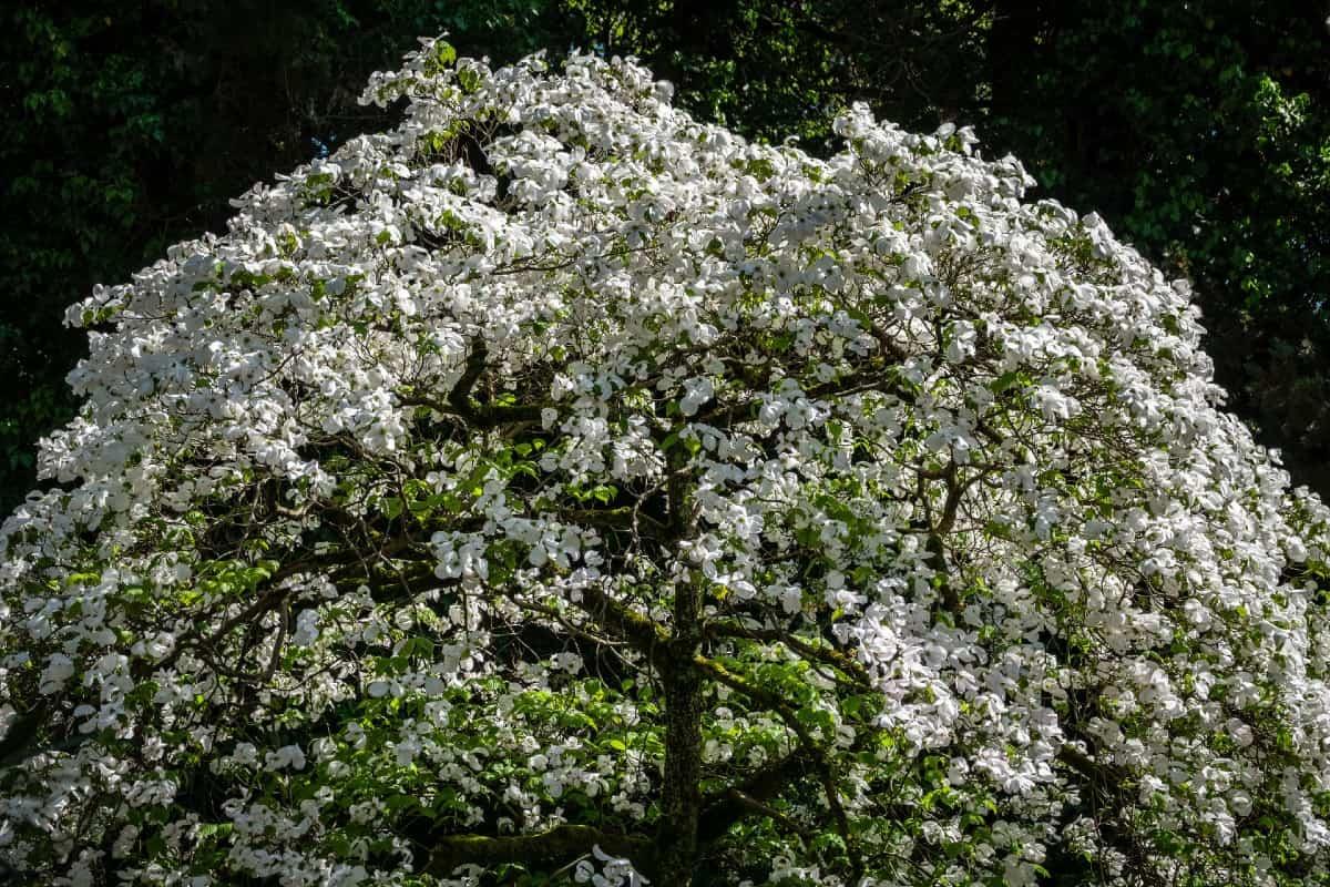 Flowering dogwoods have three-season beauty.