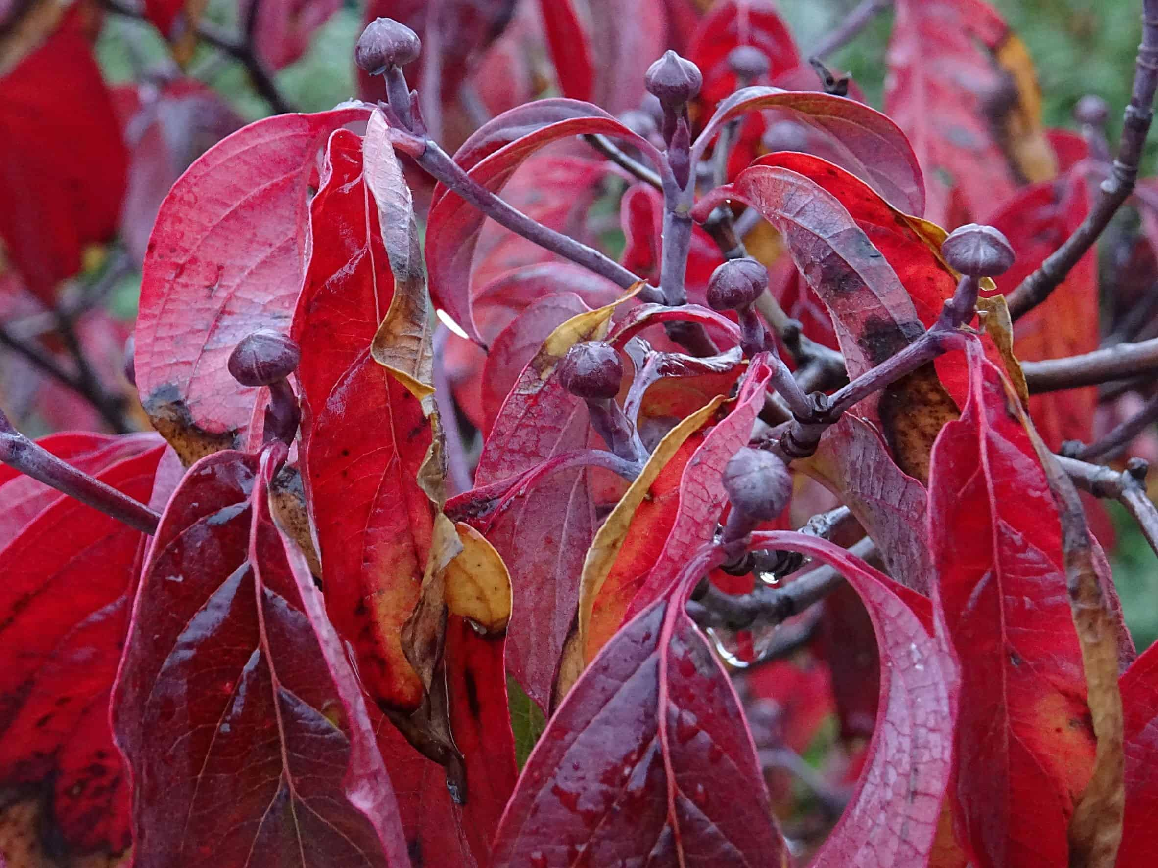 Flowering dogwoods have red or purple fall leaves.