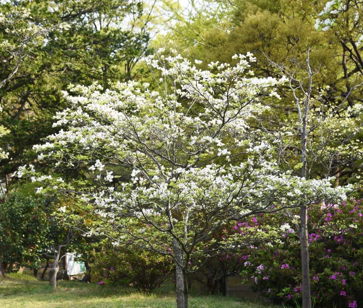 Flowering dogwoods are attractive in three of the four seasons.