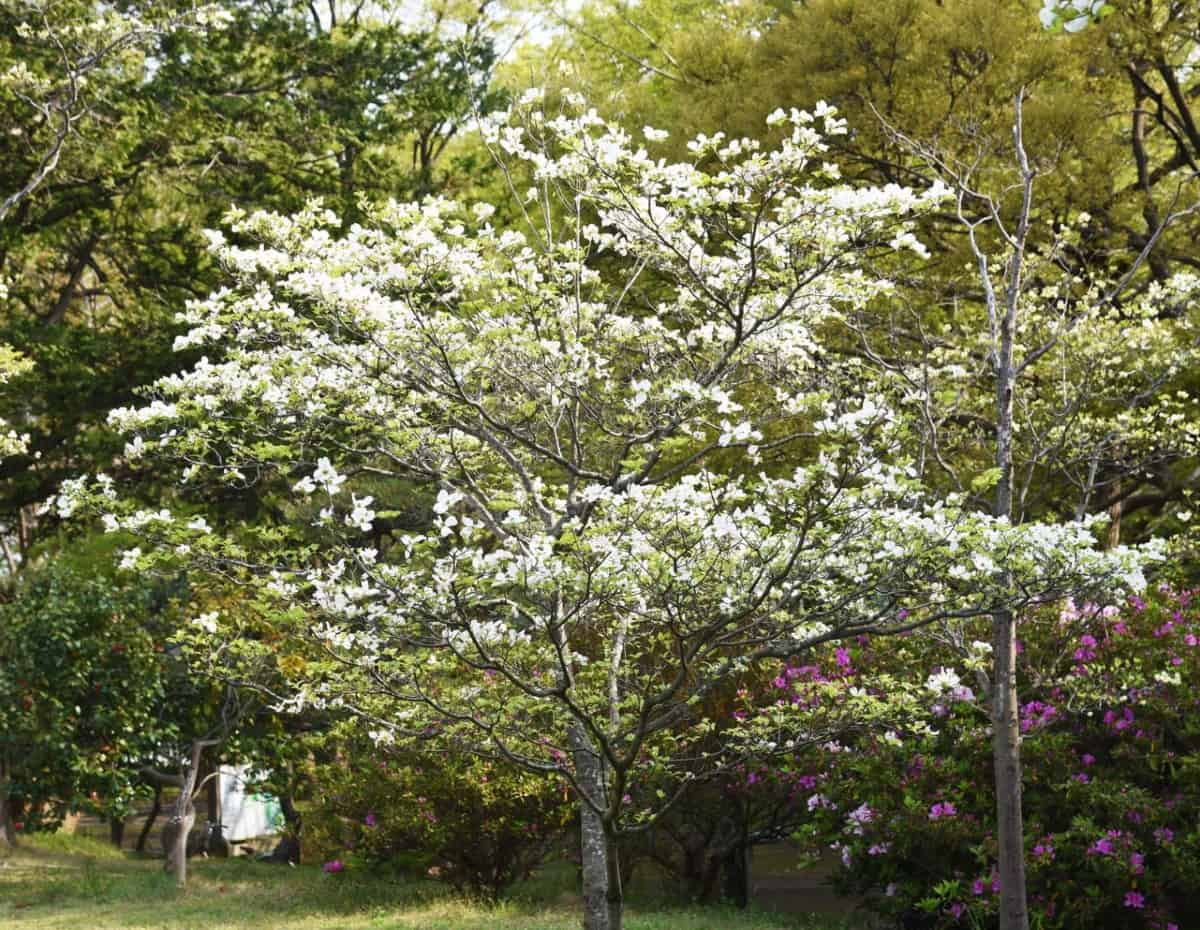 The flowering dogwood is an amazing tree for shade.