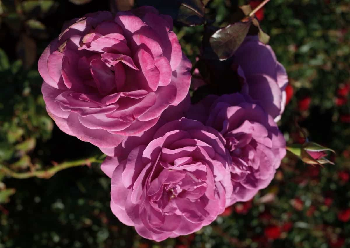 Fragrant plum roses are a long-stemmed variety.