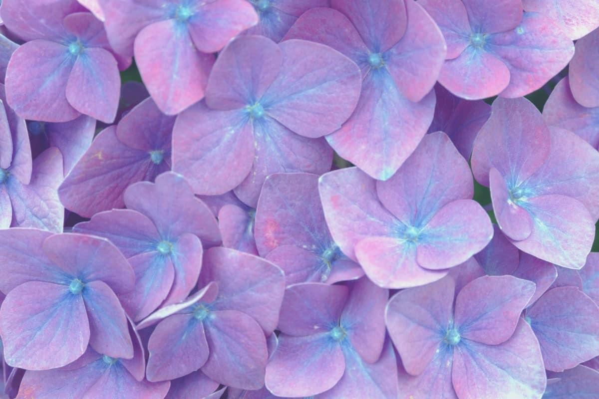 The French hydrangea shrub has pinkish-purple flowers.