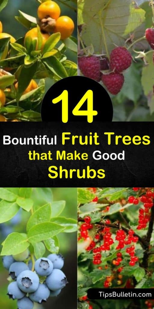 Discover fruiting trees to plant as shrubs. Try berries like raspberries, stone fruits like nectarines, pome fruits like pear trees, and citrus fruits like mandarin oranges. Plus, learn about care requirements, like growing in full sun and promoting pollination. #fruittrees #shrubs #growing