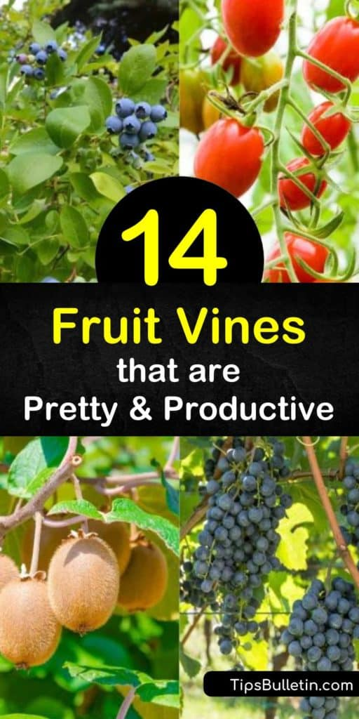 Learn how to grow a vertical garden with fruiting vines and enjoy a yearly harvest of tasty fruit. Grow blueberry, raspberry, kiwi fruit, blackberry, grapes, and other vines over a pergola, trellis, or fence, and let them ripen in the full sun. #growing #fruit #vines