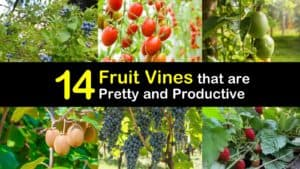 Fruit Vines titleimg1