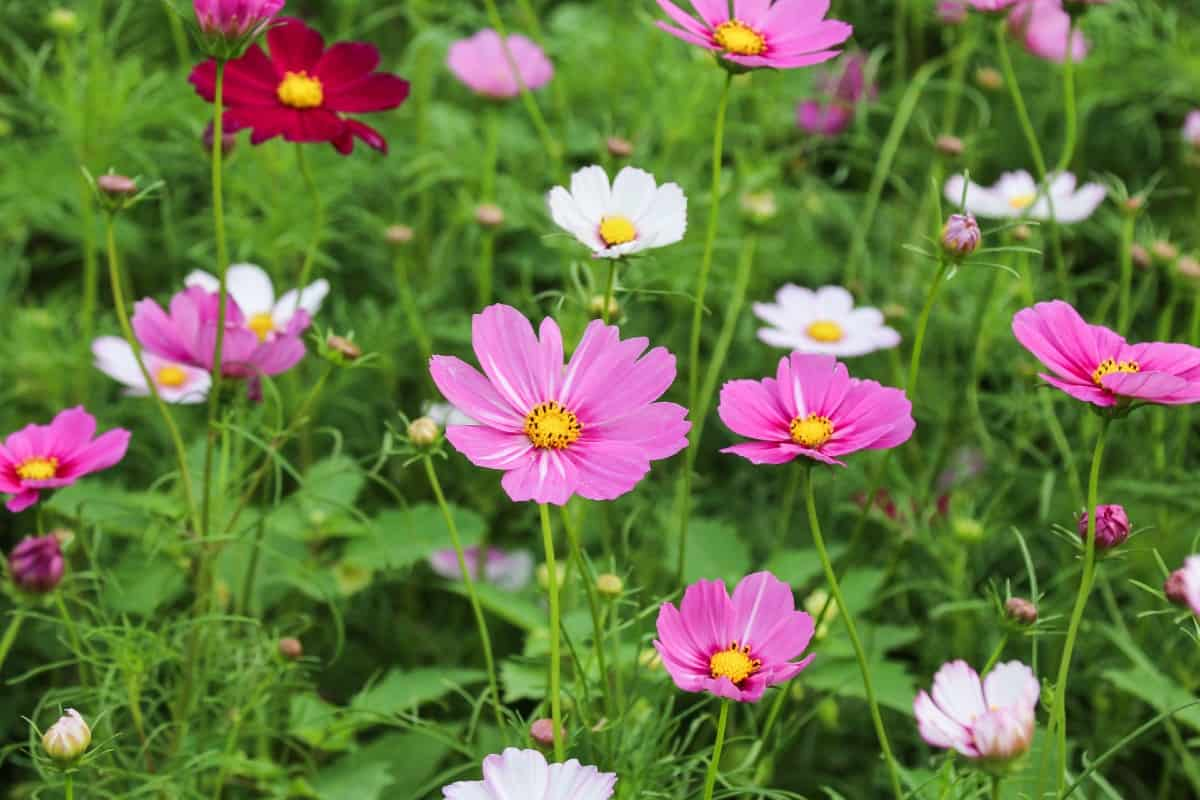Garden cosmos has a relatively long blooming time for a wildflower.