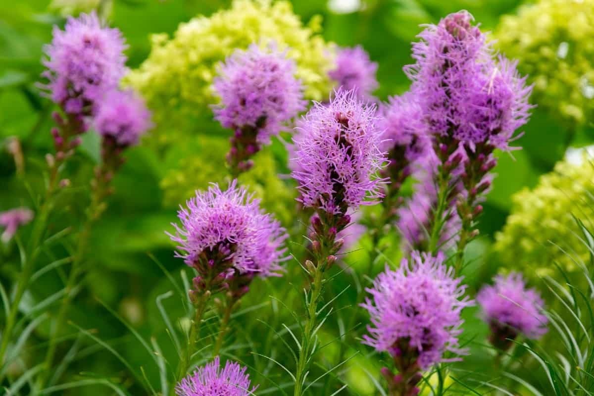 Gayfeather is also known as blazing star.