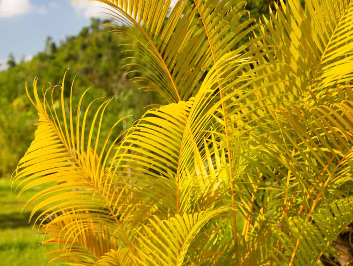 Golden cane palms used to be endangered.