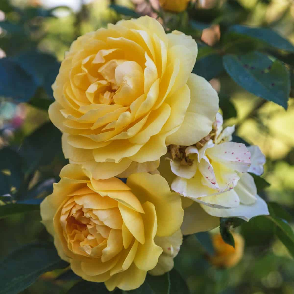 The Graham Thomas is a popular yellow rose species.