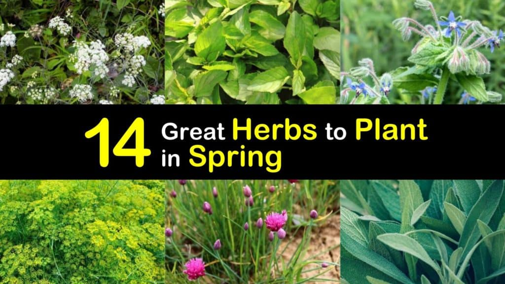 Herbs to Plant in Spring titleimg1