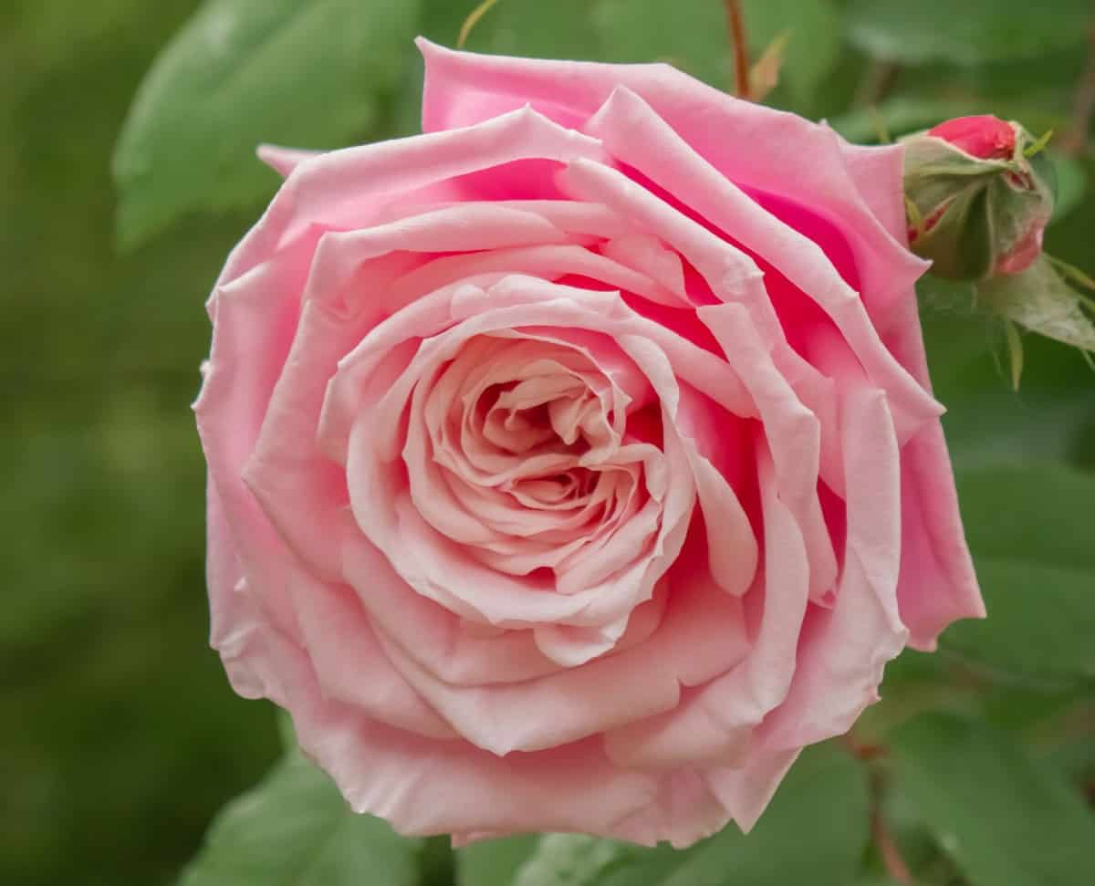 The Heritage is an old English rose with a strong scent.
