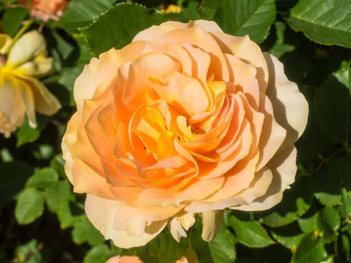 The honey perfume rose has a spicy smell.