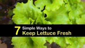 How to Keep Lettuce Fresh titleimg1