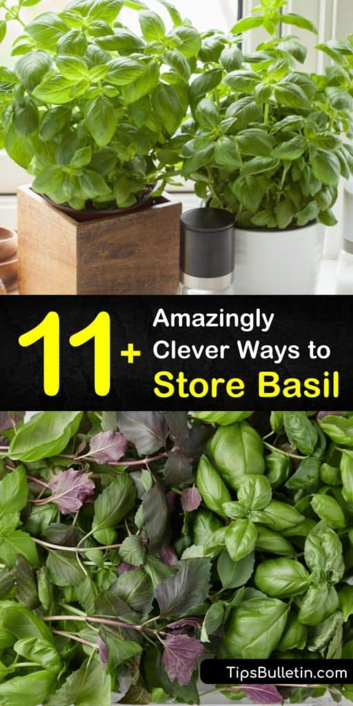There's nothing better than plucking leaves from a basil plant for pesto but fresh herbs do not last long. Discover how to keep fresh basil leaves in the fridge, store basil in an ice cube tray, and learn the best way to dry basil. #basil #fresh #storage