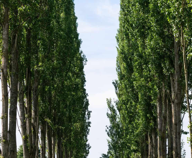 Hybrid poplars are very fast-growing trees.