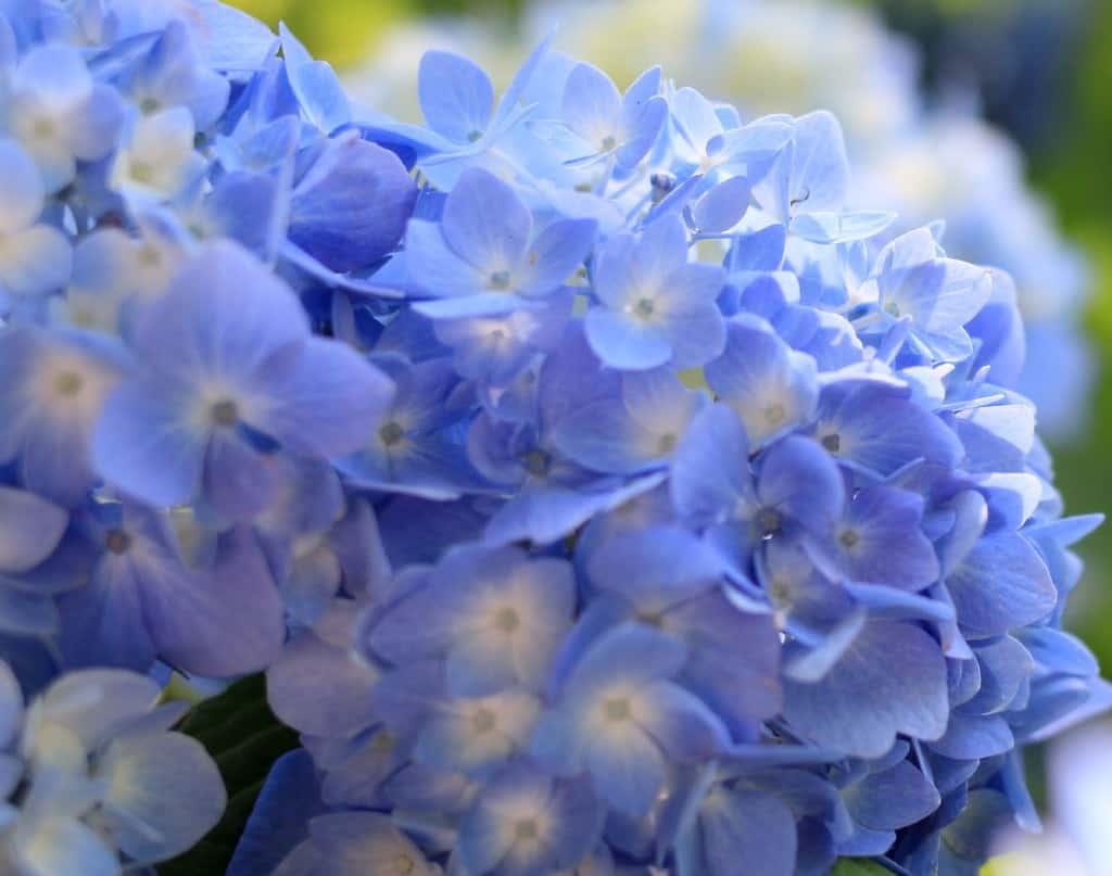 Hydrangea shrubs have bundles of blooms like snowballs.