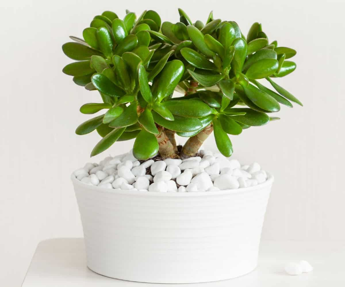 Jade plants have succulent-like leaves.