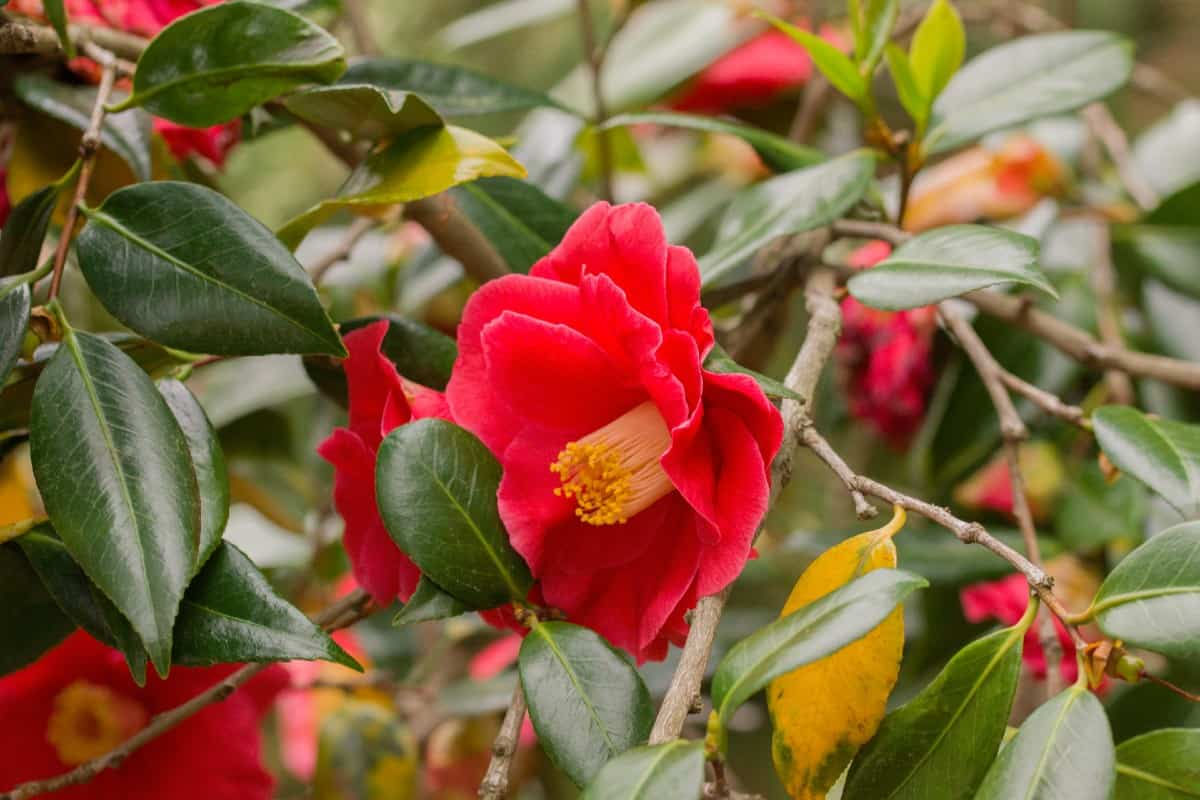 Japanese camellias are long-lived shrubs.