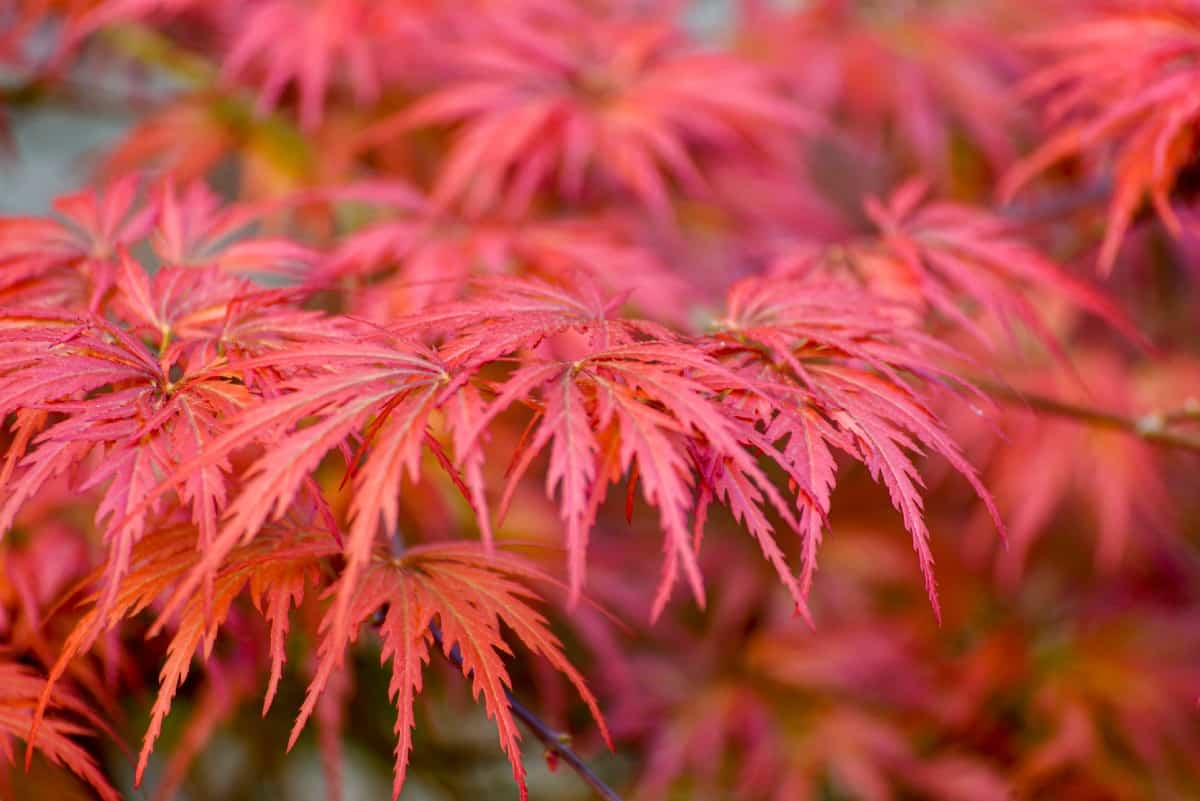 The Japanese maple has brilliant red leaves.