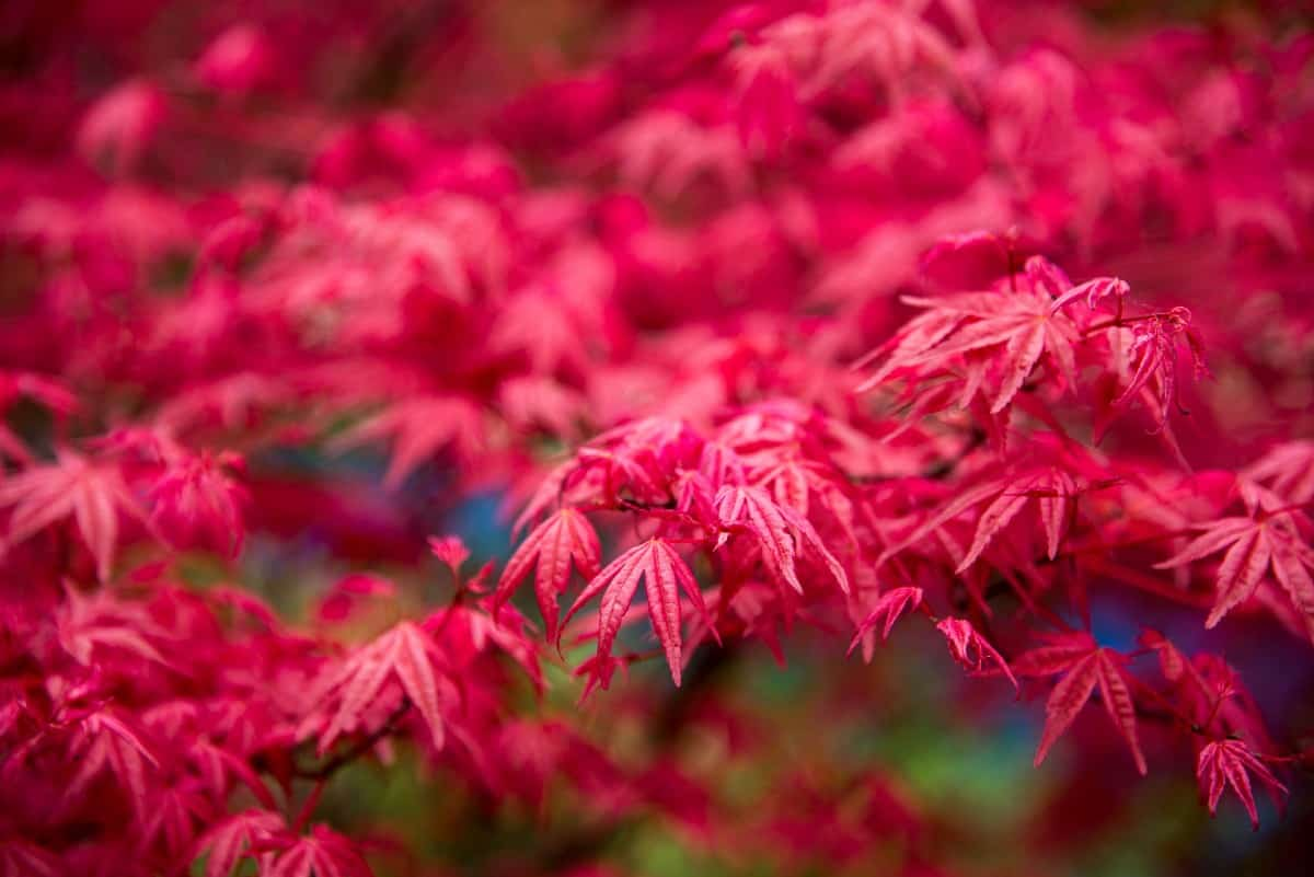 Japanese maples make a statement in the front yard.