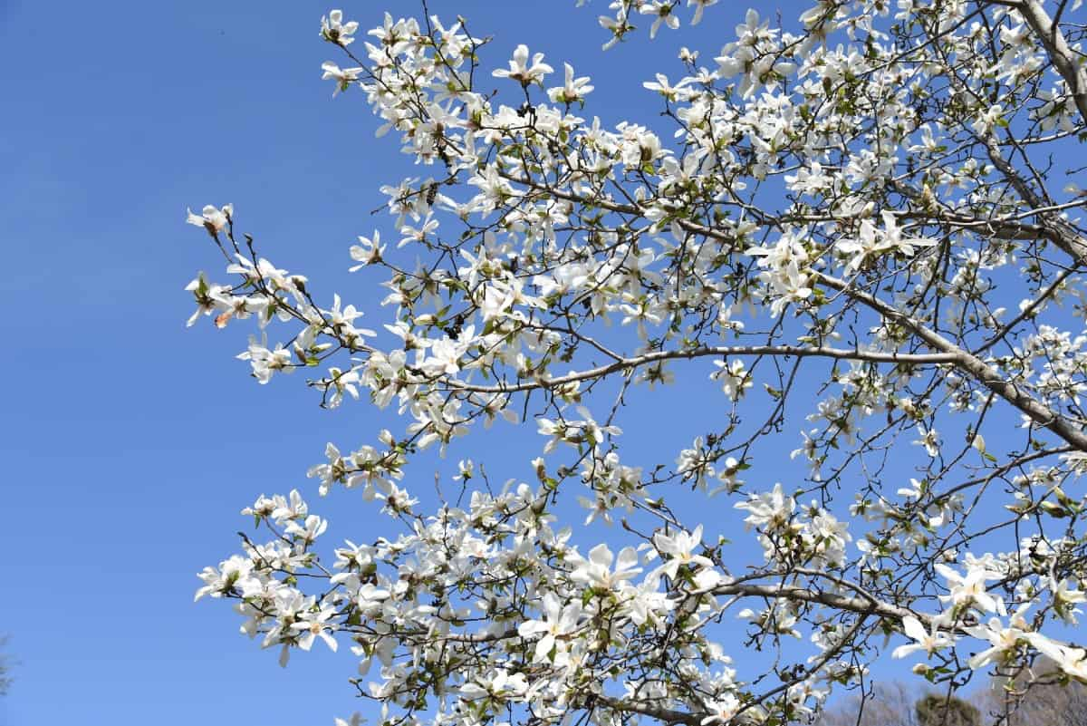 Kobus magnolias have fragrant flowers.