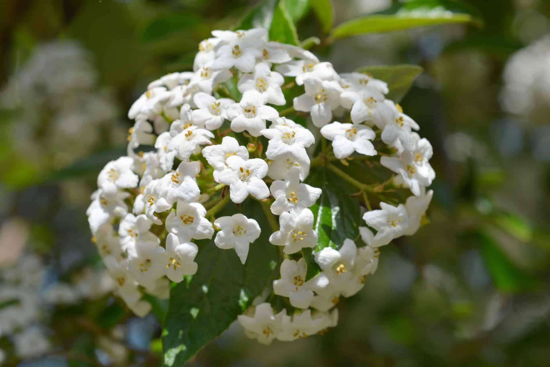 Korean spice viburnum has a pleasant fragrance.