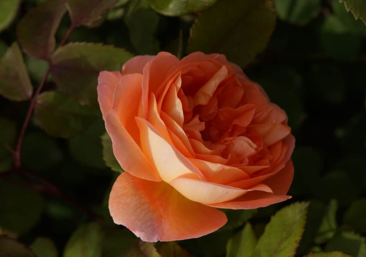 The Lady Emma Hamilton is an English rose that is a repeat bloomer.
