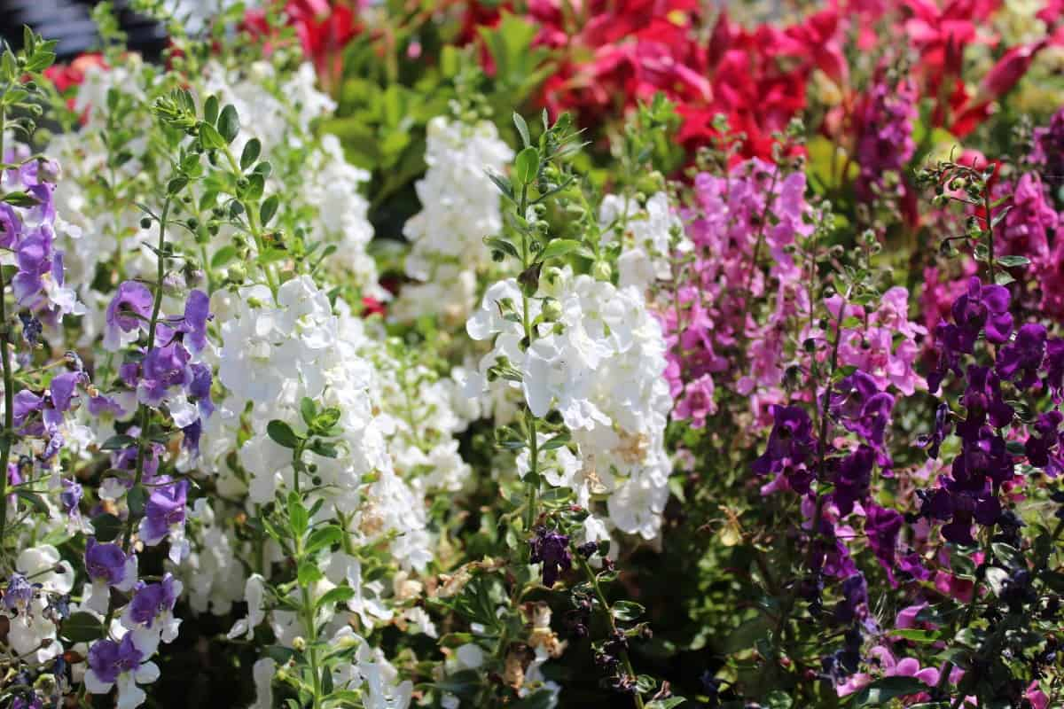 Larkspur is a spring blooming annual.