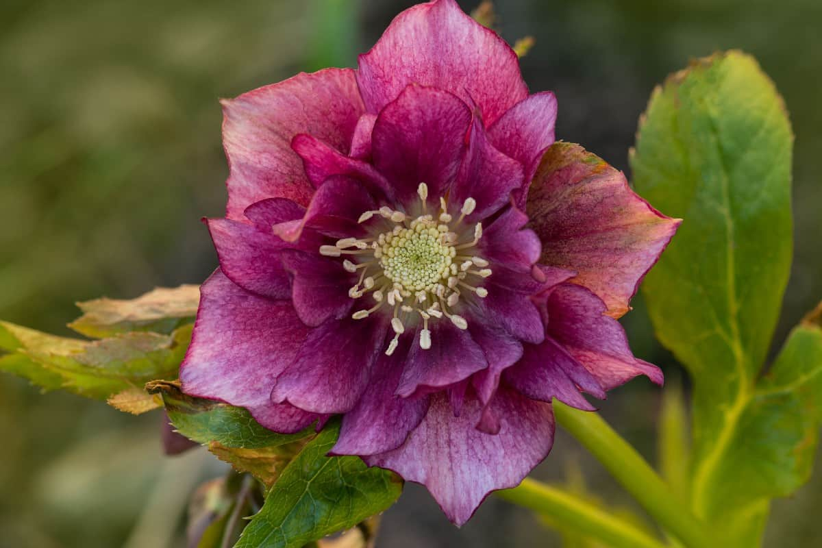 The lenten rose is also known as hellebore.
