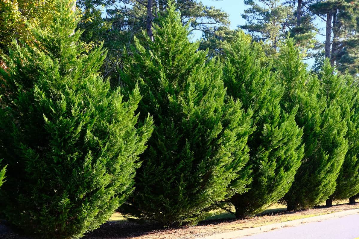 The Leyland cypress is often used as a Christmas tree.