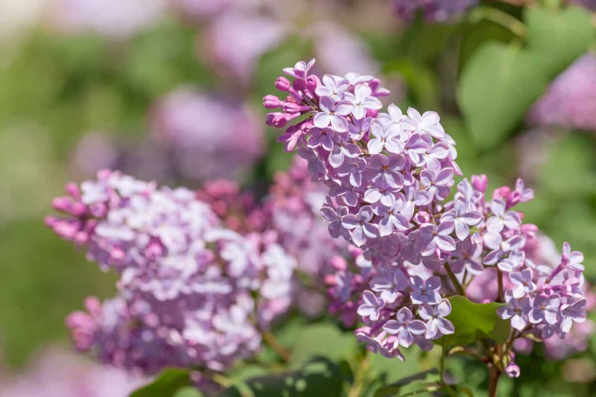 Lilacs are a sweet-smelling shrub.