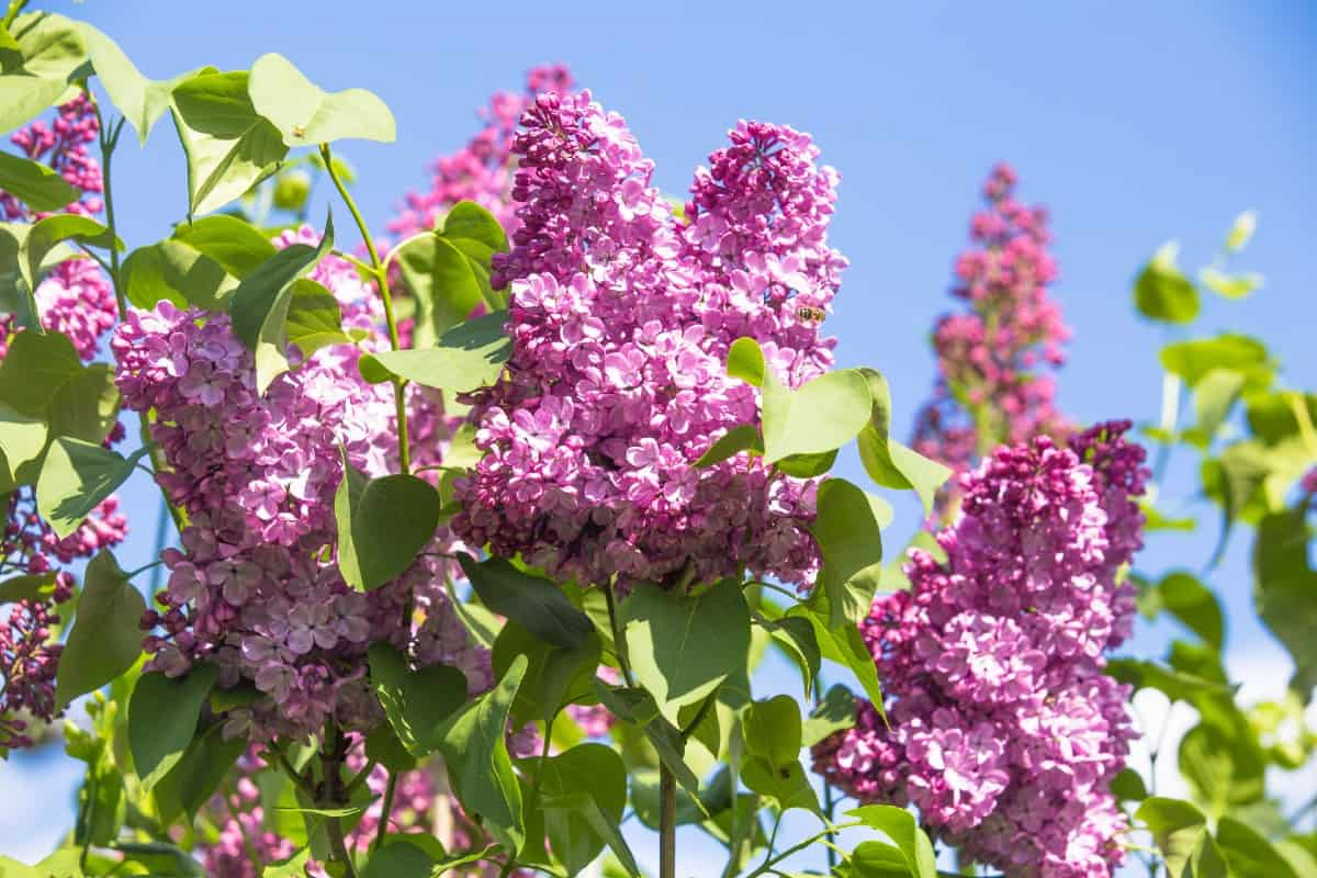 Lilacs smell amazing.
