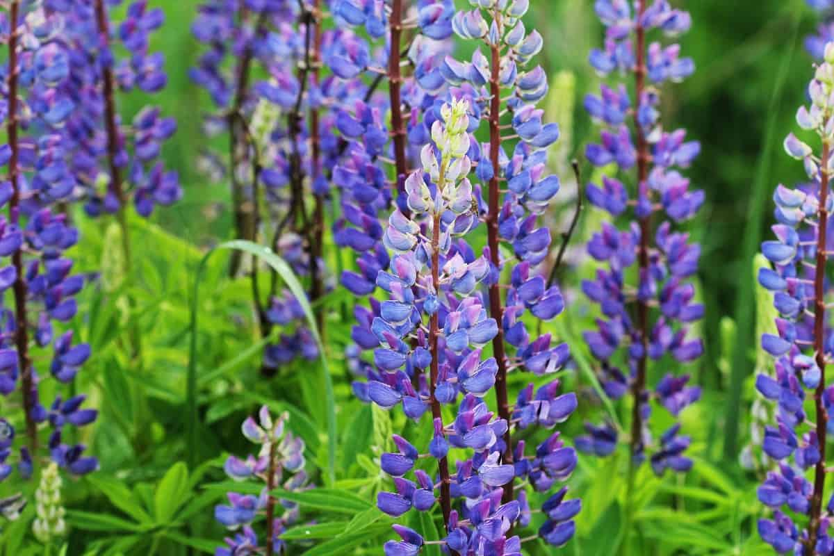 Lupines are wildflowers that can survive in poor environments.