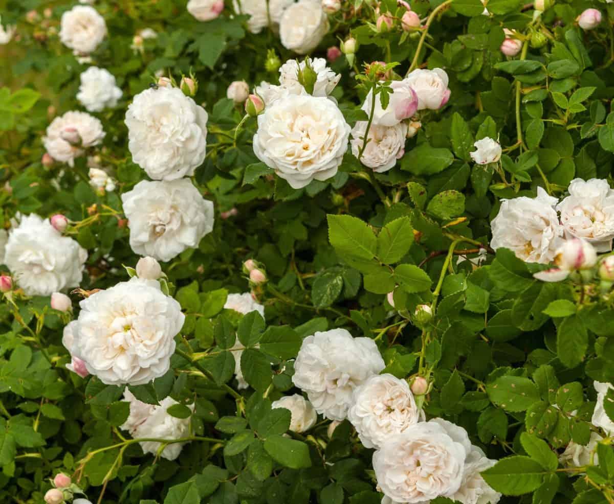 Madame Plantier roses have large white pom poms.