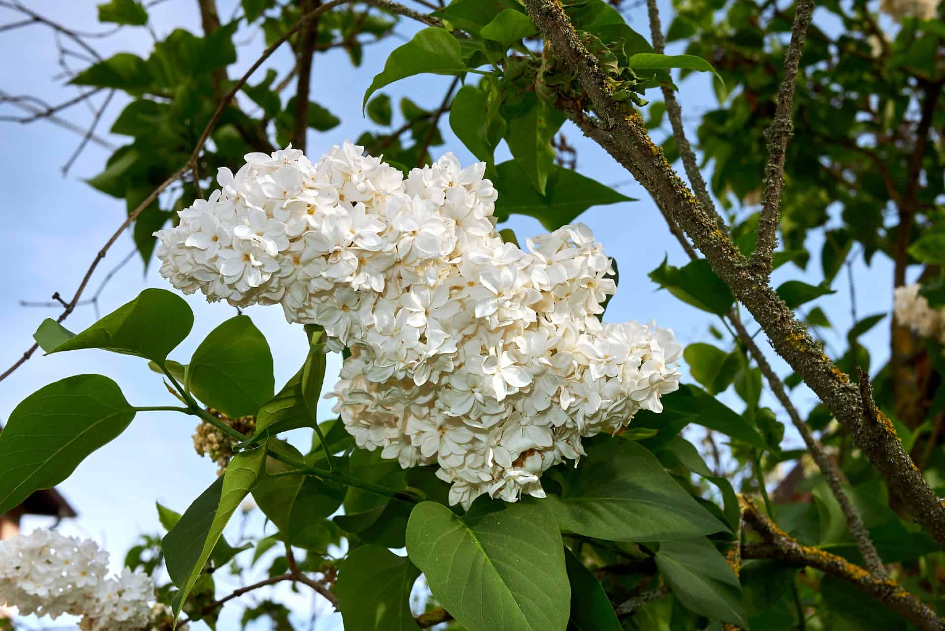 Prune the Madame Lemoine lilac after it flowers.